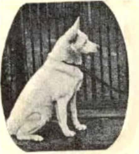 white german shepherd dog Greif von Sparwasser