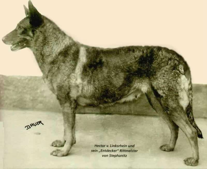 german shepherd Horand von Grafrath