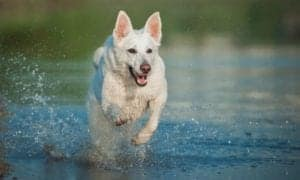 white german shepherd running in water