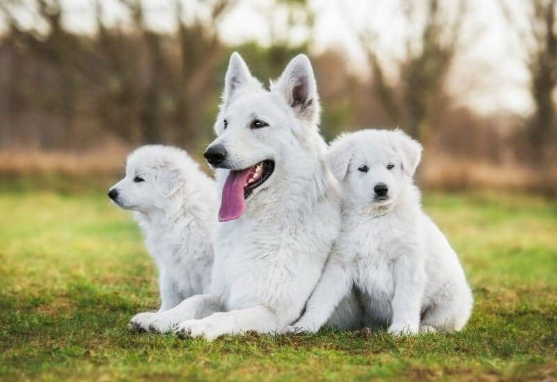 the white german shepherd dog � german shepherd country