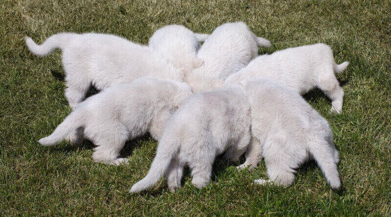 litter of white german shepherd puppies