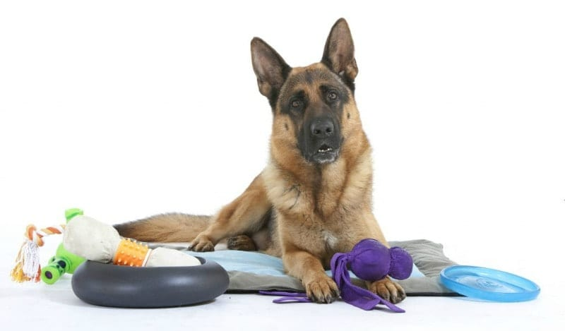 german shepherd dog with toys