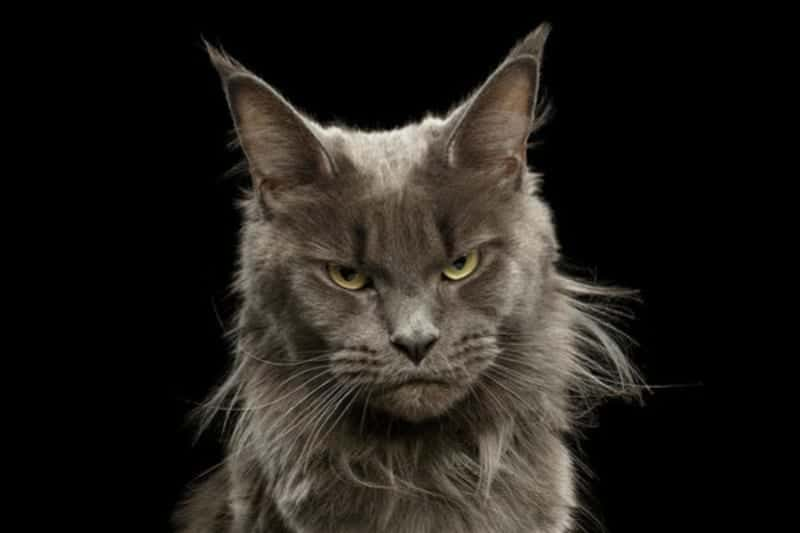 Angry Maine Coon cat on a black background