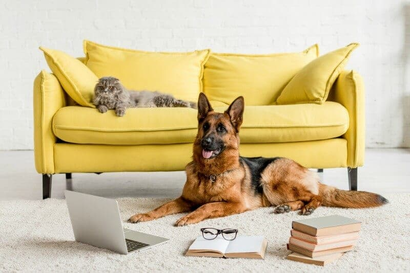 German Shepherd Dog in front of laptop computer and books