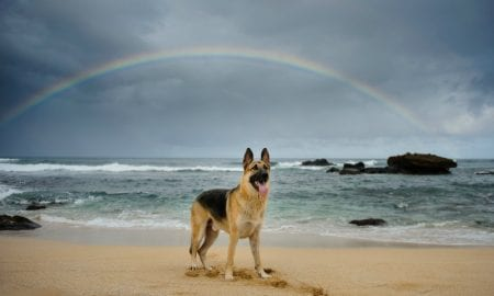 german shepherd under rainbow