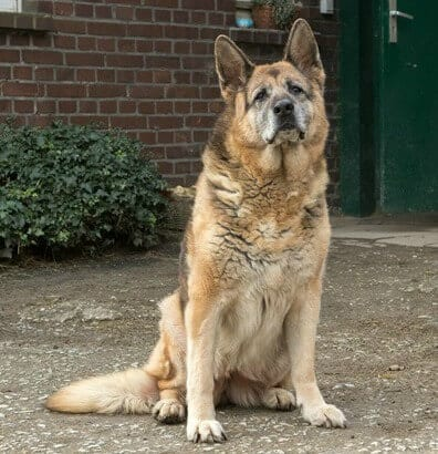 german shepherd old