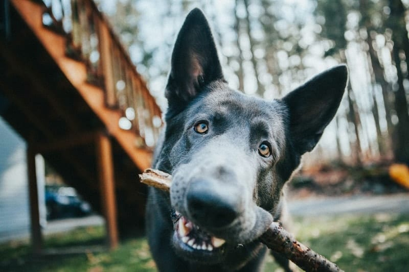 Black German Shepherd with Stick