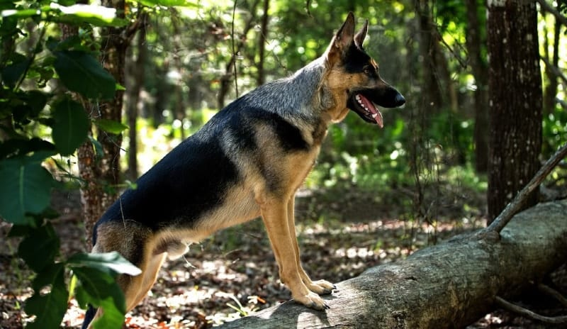 gsd in woods