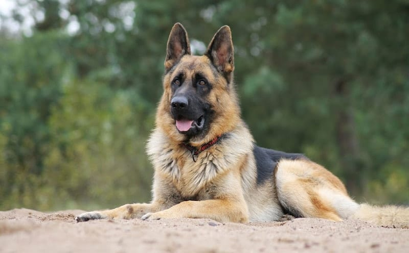 german shepherd tests positive for coronavirus