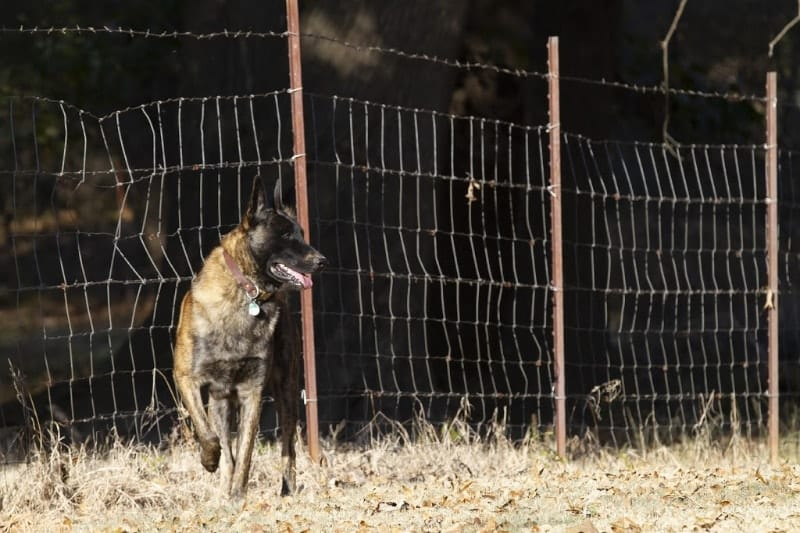 german shepherd in front of fence