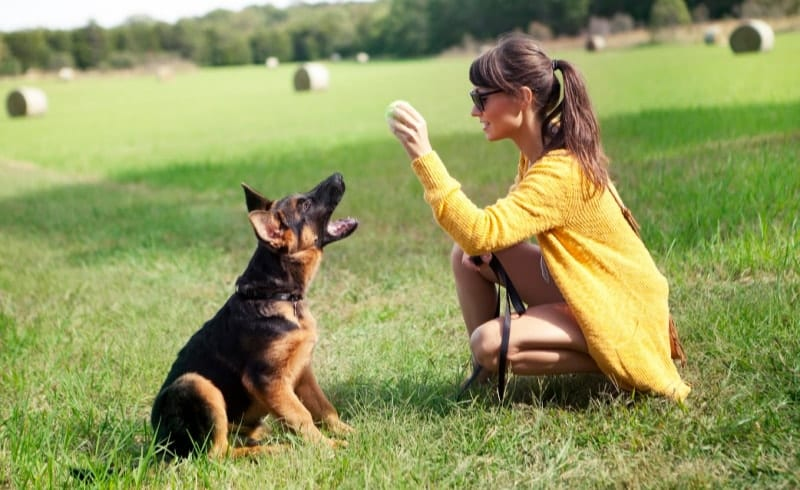 5 training tips german shepherd puppy sitting