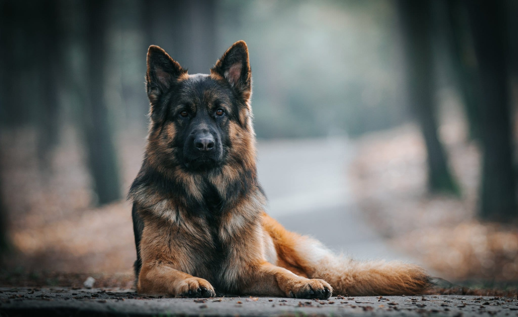 german shepherd traits