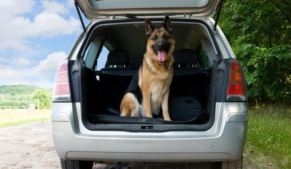 german shepherd in car