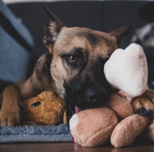 german shepherd with toys