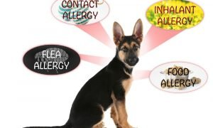 german shepherd allergies
