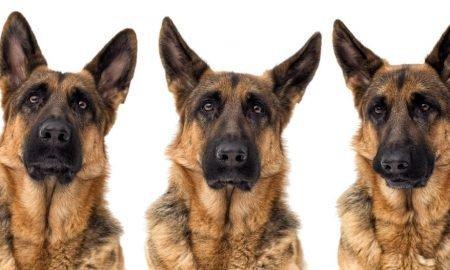 german shepherd expressions